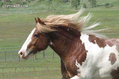 skewbald--gypsy-vanner-horse-for-sale6586.jpg (600×400)