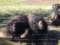 Billy (left) and Charlie, our Ouessant wethers, waiting for a treat