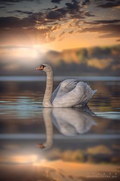 Swan at Sunset ~ by Eterna Photography Beautiful Swan, Beautiful Birds, Animals Beautiful, Beautiful Pictures, Swans, Animals And Pets, Cute Animals, Expressions Photography, Mundo Animal