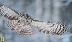 Ural owl in Nat Geo June 2012 by Sven Zacek