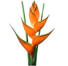 Orange Heliconia Tropical Flower