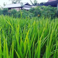 Happy New Year! We wish you a fresh bright new year where your intentions may evolve your knowledge grow your experience expand and love for nature will be everlasting.. #permaculture #farming #newyear #freshstart #setyourintention #resolutions #rice #ricefield #ubud #bali #smallfarm #permaculturefarm