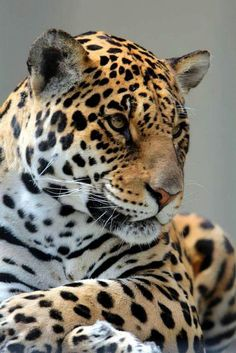 °Jaguar for boys mask Big Cats, Cool Cats, Cats And Kittens, Nature Animals, Animals And Pets, Cute Animals, Wild Animals, Beautiful Cats, Animals Beautiful