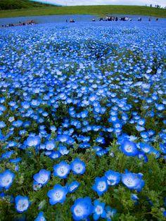 baby blue-eyes(Nemophila), Hitachi Seaside Park, Hitachinaka, Ibaraki, Japan