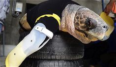 Patas artificiales para una tortuga mordida por tiburones