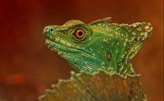 Green Basilisk by Sonja Probst on 500px