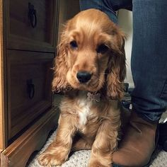 """Outstanding """"Spaniel Dog"""" detail is available on our website. Read more and you will not be sorry you did. Perro Cocker Spaniel, Cocker Spaniel Anglais, English Cocker Spaniel Puppies, English Spaniel, Golden Cocker Spaniel, Cute Puppies, Cute Dogs, Dogs And Puppies, Pets"""