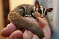 i love sugar gliders :)