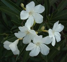 Oleanders : night glow and scent   white oleanders glow in the moonlight - if you want a moonlight garden that you can enjoy at night they are a good choice -  desert areas are great for moonlight gardens since it's too hot to be out and enjoy them in the day.