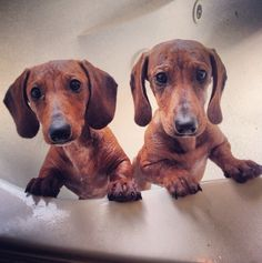 ❤️ Bath time. doxie