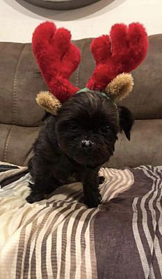 Pictures Of Ginny A Shih Tzu For Adoption In New York Ny Who