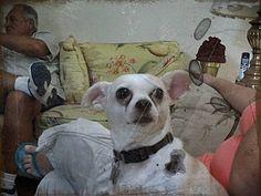 Chihuahua Pitbull Mix Full Grown