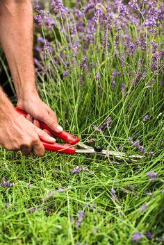 Easy methods to prune lavender Prune, Permaculture, Garden Planning, Garden Tags, Flower Garden, Lavender, Diy Wood Planters, Potager Garden, Herbs