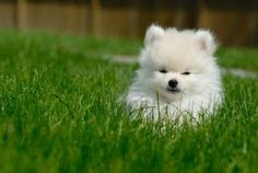 Adorable white Pomeranian puppy... I think Reko needs a baby brother or sister