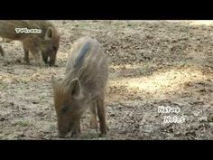 FaunaView: Wild Boar - New Borns - YouTube
