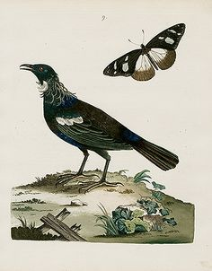 Peter Brown Illustration of Zoology Bird Prints 1776