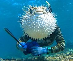 Funny pictures about Puffer Fish Photobomb. Oh, and cool pics about Puffer Fish Photobomb. Also, Puffer Fish Photobomb photos. Funny Cats, Funny Animals, Cute Animals, Zoo Animals, Funny Humor, Photos Du, Funny Photos, Awkward Pictures, Random Pictures