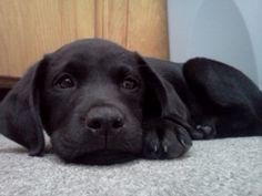Black Lab Puppy (Kenai)