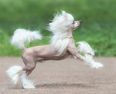 Hairless Chinese crested dogs have a lot of exposed skin which means they're prone to skin issues like humans. Ugly Dog Breeds, Ugly Dogs, Unique Dog Breeds, Pet Dogs, Dogs And Puppies, Chihuahua Dogs, Doggies, China, Chinese Crested Hairless
