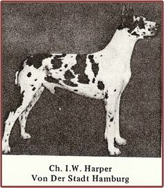 "Born Aug 13, 1957. Breeder: Carl Daniels, Hamburg-Altona. CH I.W. Harper vd Stadt Hamburg was purchased by Toni Pratt of Meistersinger kennels and co-owned with Charles Staiger. Progeny are WAY too numerous to list here, but the one which began my interest in Dane pedigrees was a half brother/sister breeding of  CH I.W. Harper von Stadt Hamburg (CH Amor v Meistersinger x CH Heide von Meistersinger) which produced Bill Miller's Village Squire – the sire of BMW's foundation bitch ""Biche d'Zagreb."""