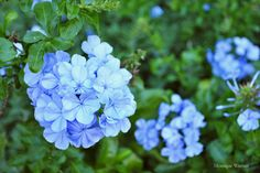 Here are three reasons to plant Plumbago auriculata, commonly known as plumbago, blousyselbos and umabophe, in your garden.