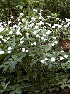 En förnämlig dam som likt vita rosor svävar i min vita rabatt. Blommorna är relativt små, men mängden av dem gör att de uppfattas som en vitblommande äng. Mörkt gröna handflikiga blad förhöje