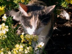 Calico Cat Smelling Flowers stock photo
