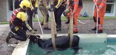 Baby cow rescued from England swimming pool