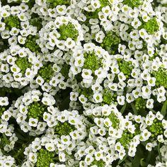 Proven Winners White Knight Sweet Alyssum (Lobularia) Live Plant, White Flowers, in. White Plants, Tall Plants, White Flowers, Beautiful Flowers, Beautiful Gardens, Rabbit Resistant Plants, Cottage Garden Plants, Cottage Gardens, Green Garden