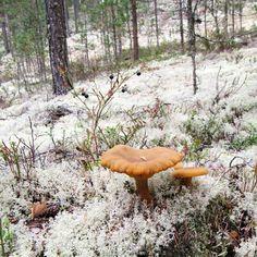 Huomenna lauantaina sienestetään porukalla Rokuan upeassa maastossa! Mr Sienimies Esko Holopainen jakaa oppiaan Sienestä Rokualla…