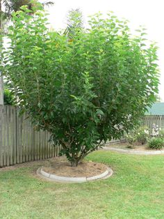 """Grandma L. had a big Mulberry Bush in her back yard. Grandma didn't """"Whup them young'uns""""  very often, (over 50 grandkids when she died at 79), but when you really messed up she sent you out to THE BUSH for a switch. You didn't think about coming back with some piddly little thing or she went to THE BUSH herself. You didn't want Grandma going to THE BUSH herself."""