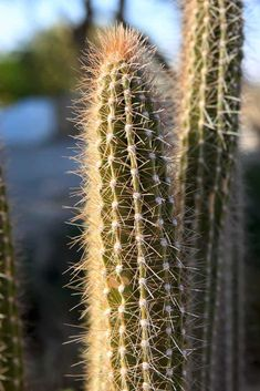 132 Types of Cacti (A to Z Photo Database) Kinds Of Cactus, Types Of Succulents Plants, Cactus Types, Planting Succulents, Container Plants, Container Gardening, Easter Cactus, Soil Ph, Gardening