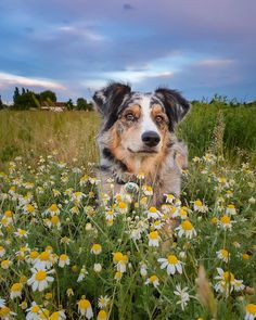 Photos Originales, Australian Shepherds, Animal Pictures, Doggies, Photographs, Cute Animals, Flowers, Instagram, Shepherd Dog