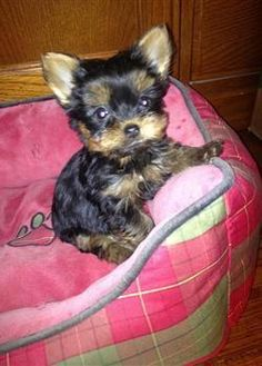 Yorkie Puppies, Pictures, Images of yorkshire terriers, yorkie images #yorkshireterrierhaircut