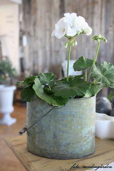 .geranium in galvanized pail