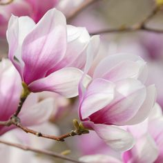 Detail of Pink Flowering Dogwood