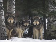 Wolf Posters at AllPosters.com