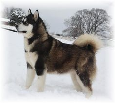 One day I would love to own an Alaskan Malamute. Unlike a husky, these dogs are very calm and love people.