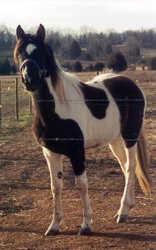 This wonderful breed was developed by early American settlers, originally mixing Morgans and Thoroughbreds beginning in the 1820's. Later, t...