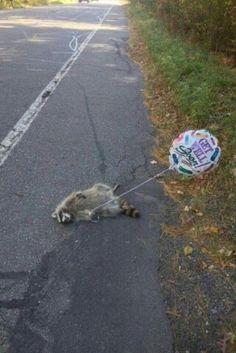Dead raccoon balloon! LoL