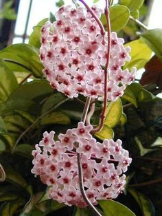Wax Plant: Hoya carnosa  Long, slender vines covered with thick, green leathery leaves, sometimes flecked with silvery or creamy white. Given enough light, Wax Plants will produce parachute clusters of star-shaped, white to pink flowers with five-point centers. Those flowers are so intricately detailed, uniformly shaped and shiny, they're sometimes called Porcelain Flower. You can expect Hoyas to bloom in the spring, summer or fall, depending on the variety.