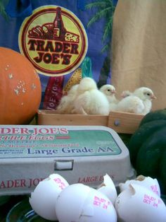 These chicks hatched from fertilized eggs bought at a Trader Joe's grocery store!! Read how they did it.