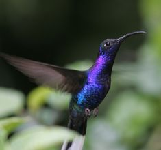 Violet Sabrewing, Campylopterus hemileucurus, is a very large hummingbird native to southern Mexico and Central America as far south as Costa Rica and western Panama.