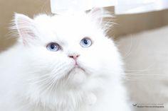 Pet photography, white Persian cat portrait.