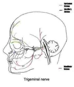 The temporomandibular joint (TMJ) is an atypical synovial