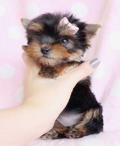 Beautiful Teacup Yorkie Puppies | Miami Ft. Lauderdale Area