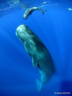 Sperm Whale and calf....Baby's so tiny! <3