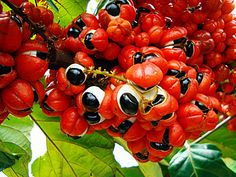 Guarana fruit from the Amazon - contains a high concentration of caffeine.