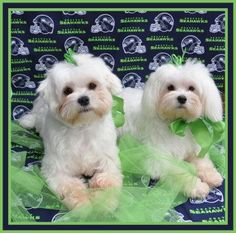 Maybe we can help finding a loving and hopefully forever home for the babies. http://www.doggielife.com/cooper-and-dixie/dogs/0Q9TBZ #dogs #maltese