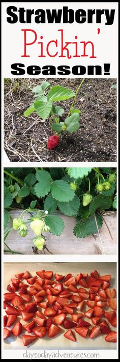 "It's strawberry picking season!  Red ripe berries ready to freeze!  - <a href="""" rel=""nofollow"" target=""_blank"">DaytoDayAdventure...</a>"